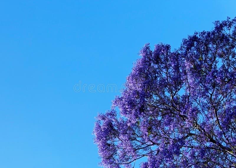 Árvore do Jacaranda na flor imagens de stock