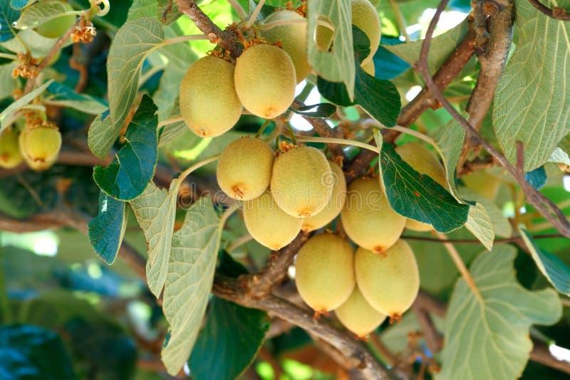 Árvore do Kiwifruit imagem de stock