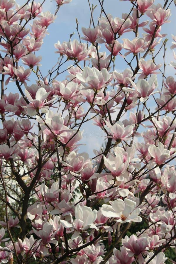 Árvore do Magnolia fotos de stock