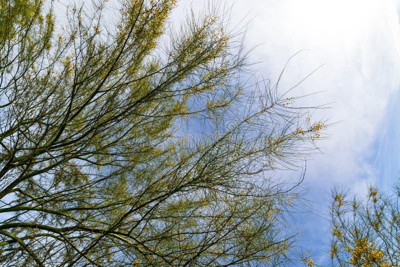 Árvore do Mesquite imagem de stock royalty free
