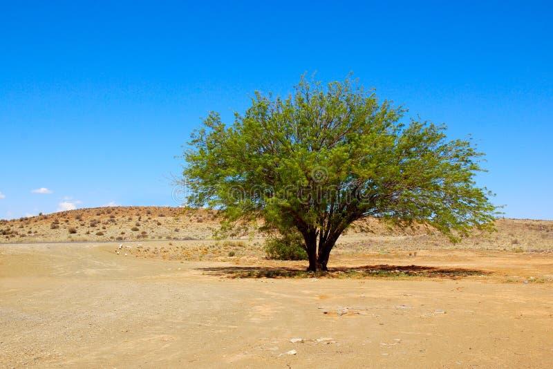 Árvore do Mesquite no deserto fotos de stock