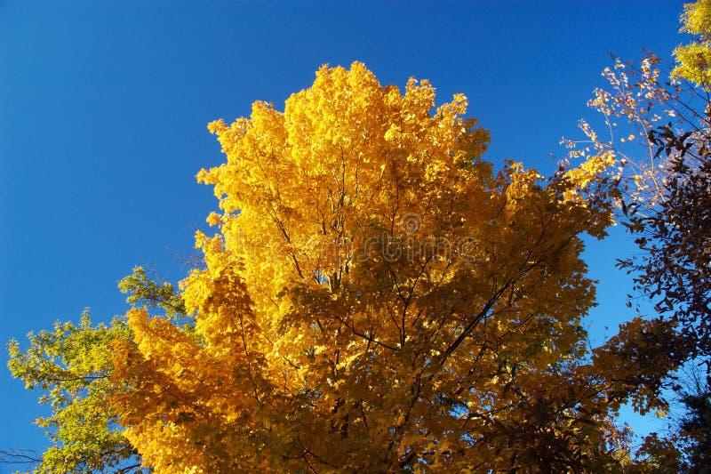 Árvore do ouro fotografia de stock royalty free