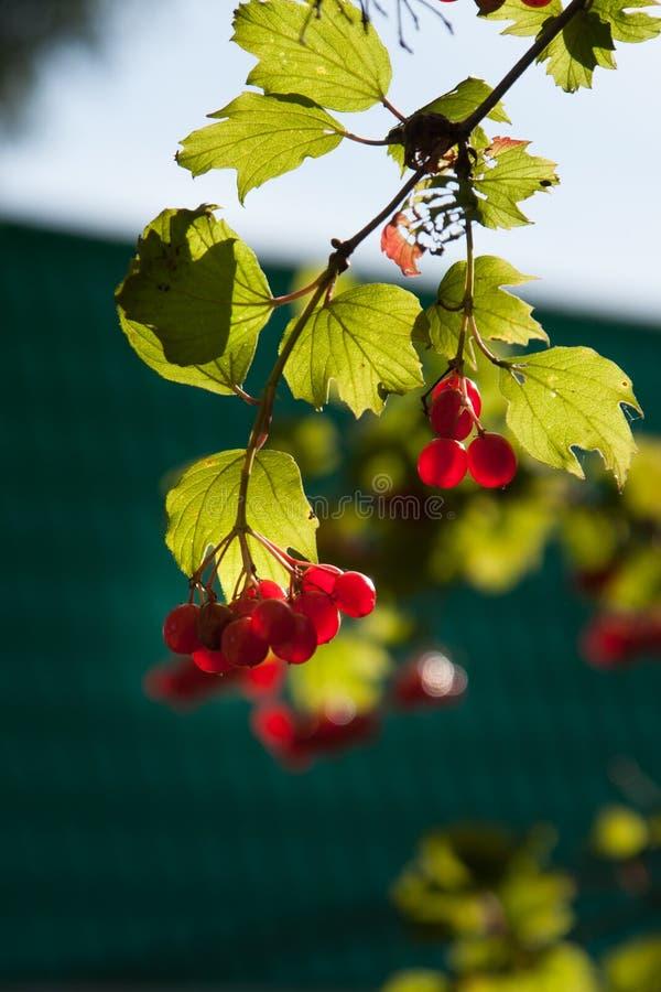 Árvore do outono com bagas vermelhas e as folhas coloridas Foco seletivo imagem de stock