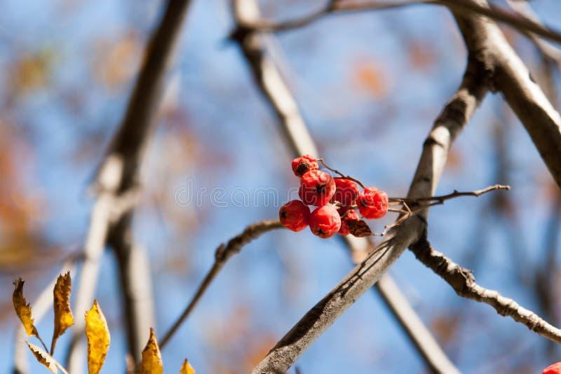 Árvore do outono com bagas vermelhas e as folhas coloridas Foco seletivo imagens de stock