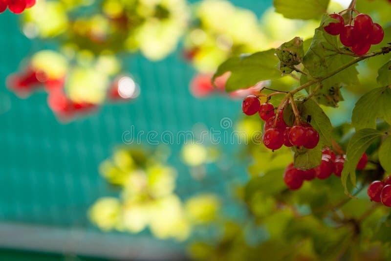 Árvore do outono com bagas vermelhas e as folhas coloridas Foco seletivo imagem de stock royalty free