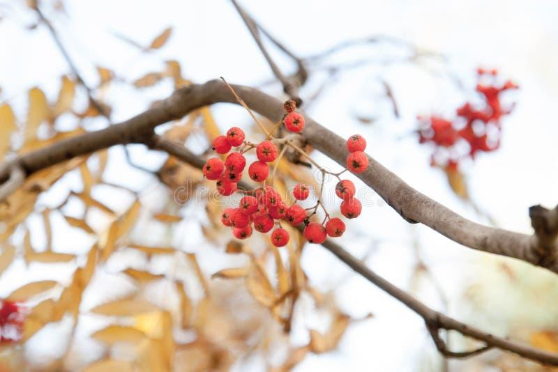 Árvore do outono com bagas vermelhas e as folhas coloridas Foco seletivo imagens de stock royalty free