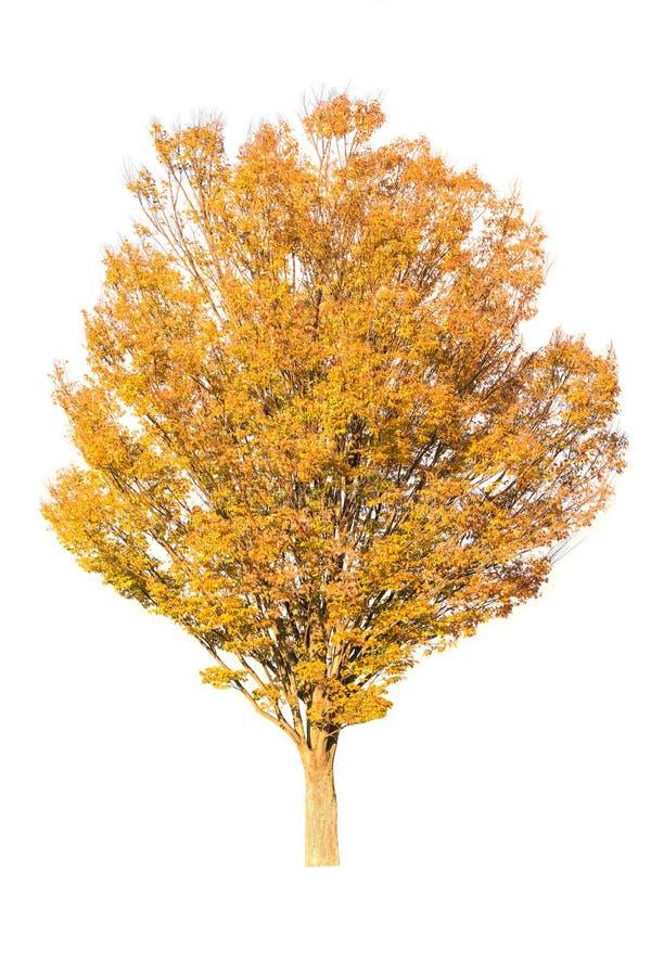 Árvore do outono isolada no branco imagem de stock royalty free