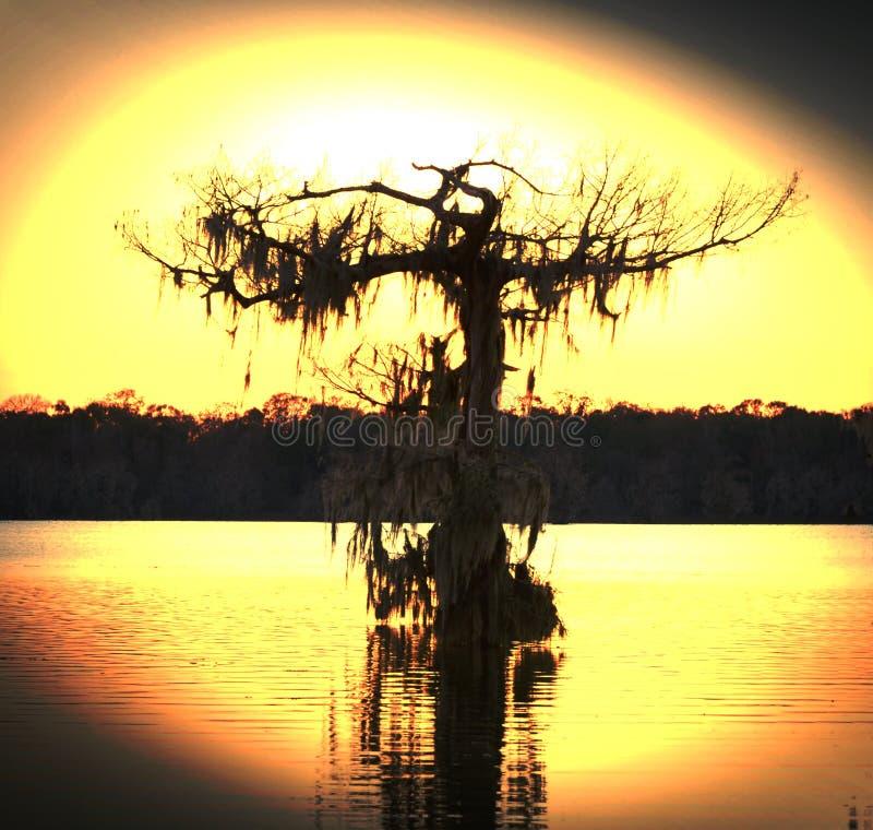 A árvore do pântano T imagem de stock royalty free