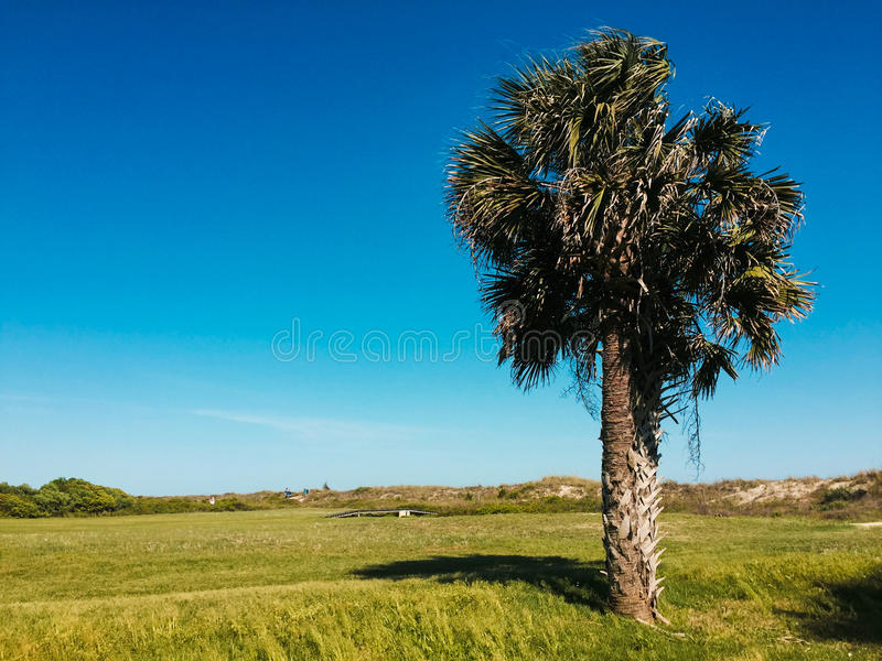 Árvore do Palmetto, a ilha de Sullivan, South Carolina imagem de stock royalty free