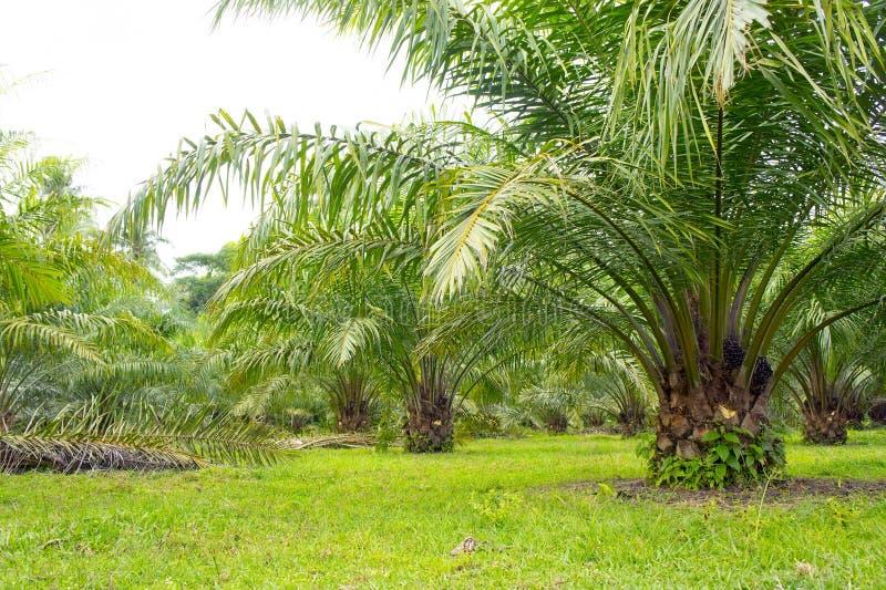 Árvore do petróleo de palma fotos de stock