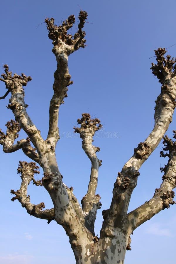 Árvore do Platanus fotografia de stock royalty free