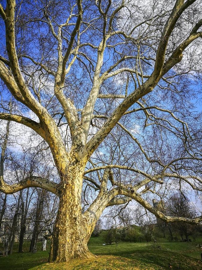 Árvore do Platanus, espécie europeia temperada do clima fotografia de stock royalty free
