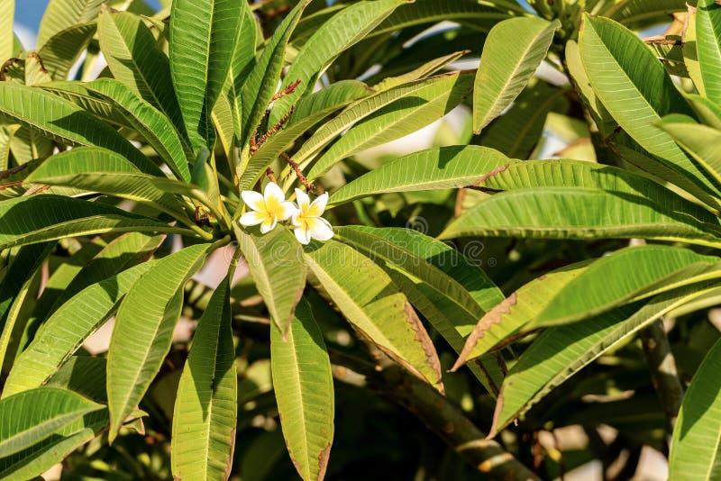 Árvore do Plumeria com as flores brancas e amarelas do Frangipani imagens de stock