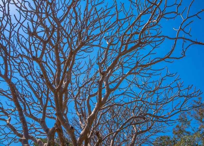 Árvore do Plumeria sem a folha imagem de stock royalty free