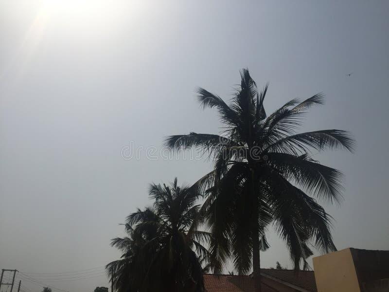 Árvore do por do sol e de coco imagem de stock royalty free