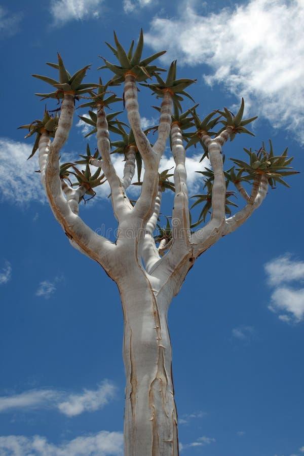 Árvore do Quiver fotografia de stock royalty free