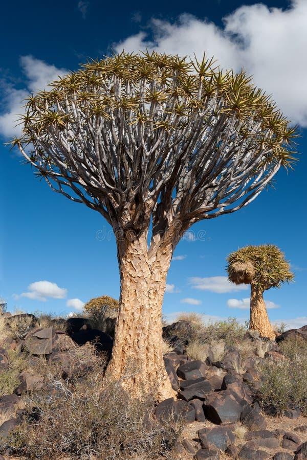 Árvore do Quiver (dichotoma do aloés) fotografia de stock