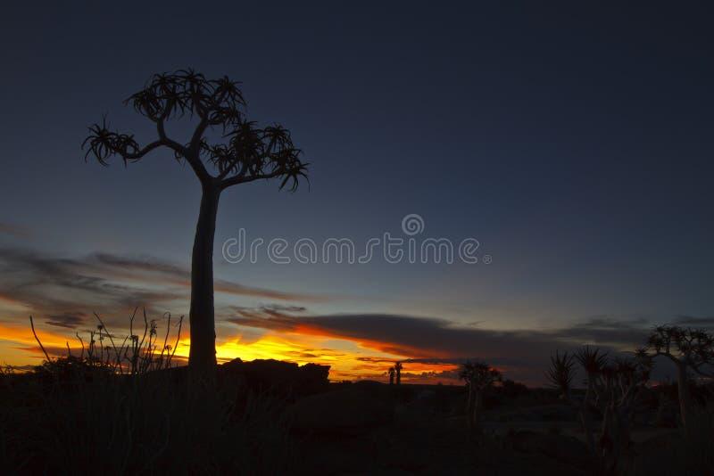 Árvore do Quiver no por do sol fotos de stock