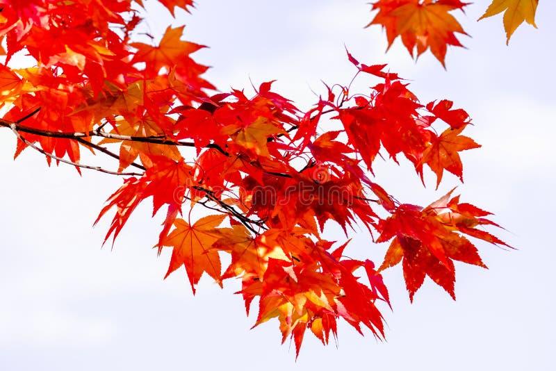 A árvore do ramo do bordo no fundo na estação do outono, folhas de bordo do céu gerencie para o vermelho, luz solar na mudança da imagens de stock