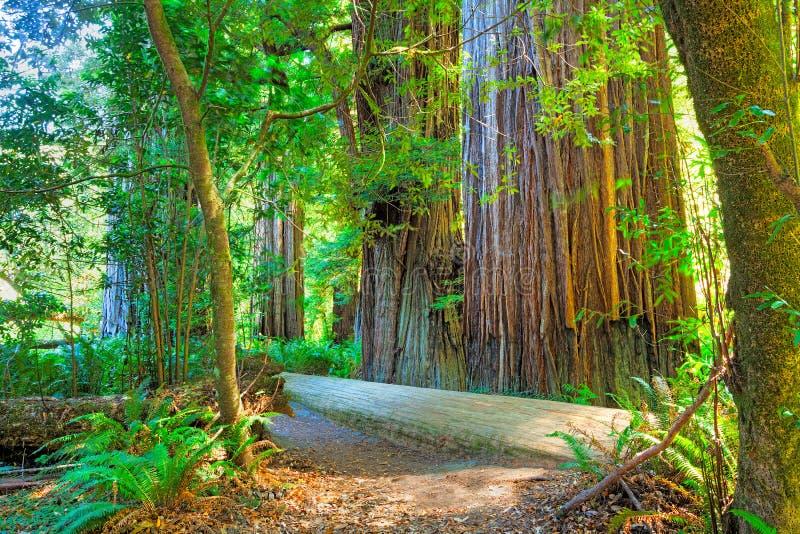 Árvore do Redwood imagens de stock