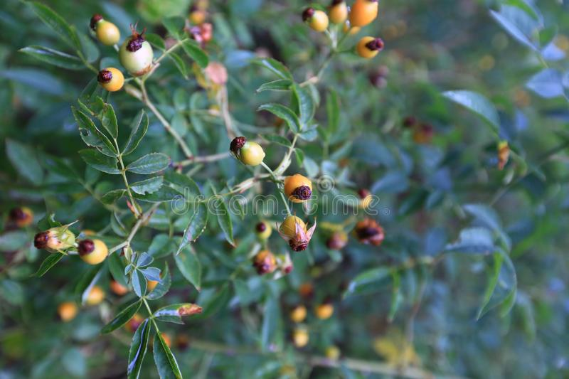 Árvore do Rosehip, Artvin, Turquia fotos de stock