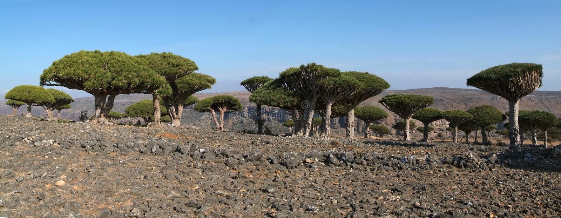 Árvore do sangue de dragão do console de Socotra em Yemen imagens de stock