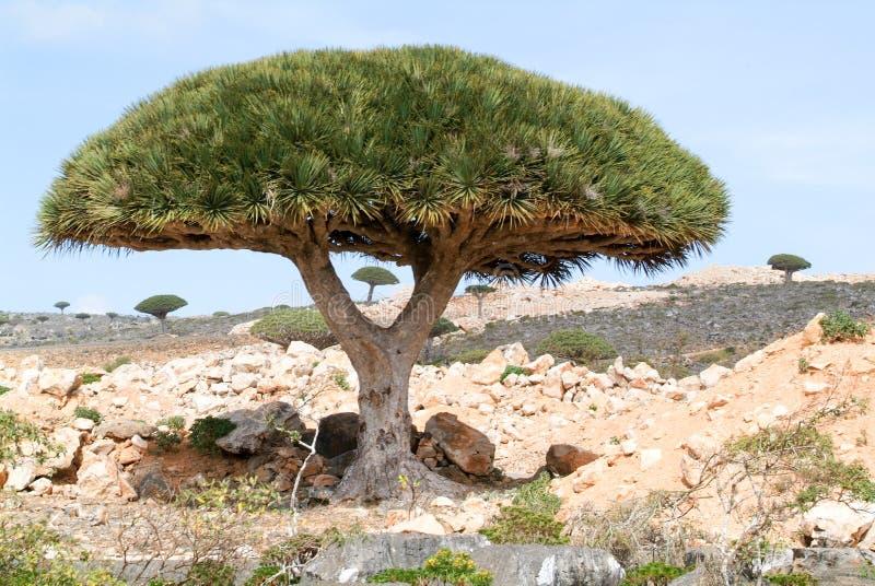 Árvore do sangue de dragão na ilha do Socotra imagem de stock royalty free