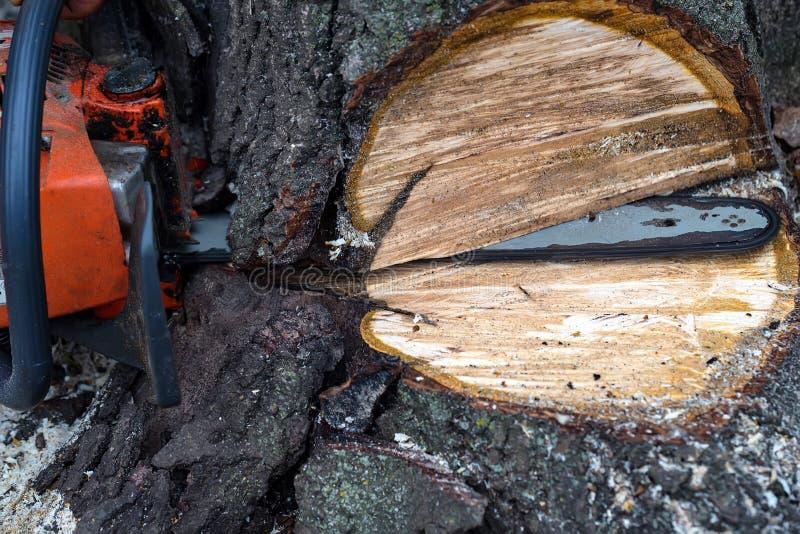 Árvore do sawing com fim da serra de cadeia acima fotografia de stock royalty free