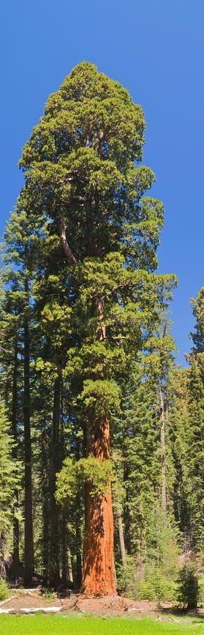 Árvore do Sequoia fotos de stock royalty free