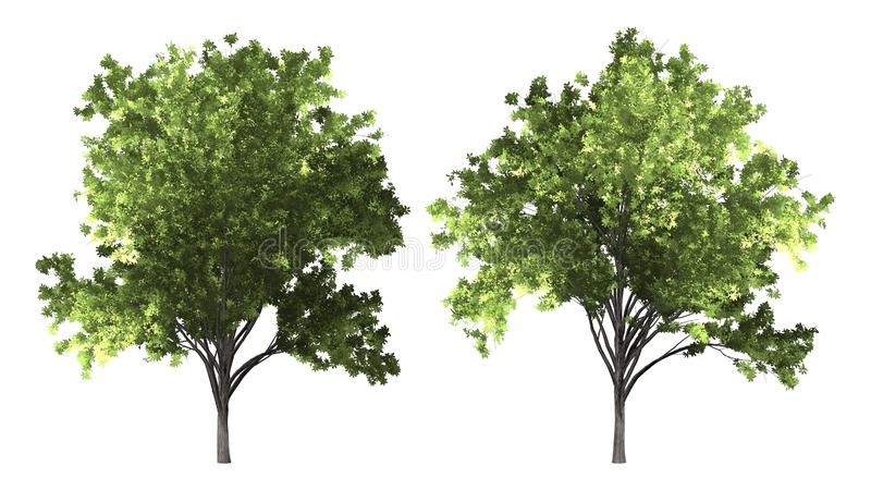 Árvore do serrata de Zelkova isolada no fundo branco com trajeto de grampeamento imagens de stock