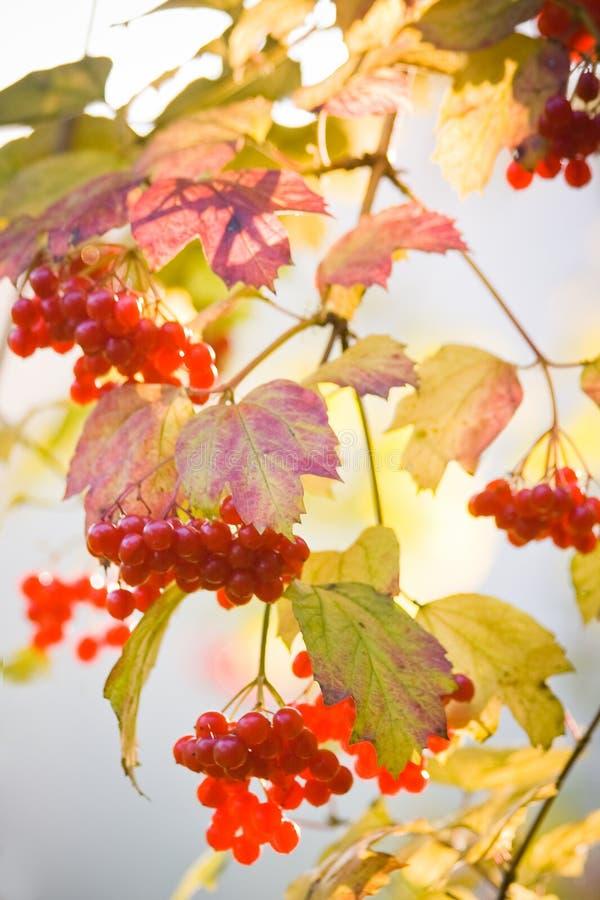 Árvore do Snowball ou Guelder Rosa imagens de stock