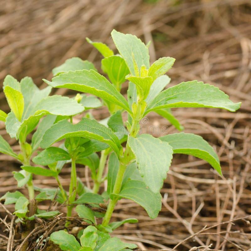 Árvore do Stevia imagem de stock royalty free