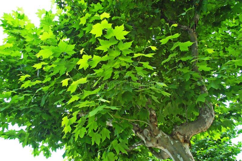 Árvore do Sycamore fotografia de stock