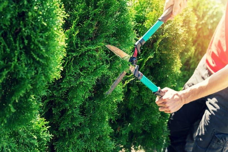 Árvore do thuja do corte com as tosquiadeiras da conversão do jardim imagem de stock