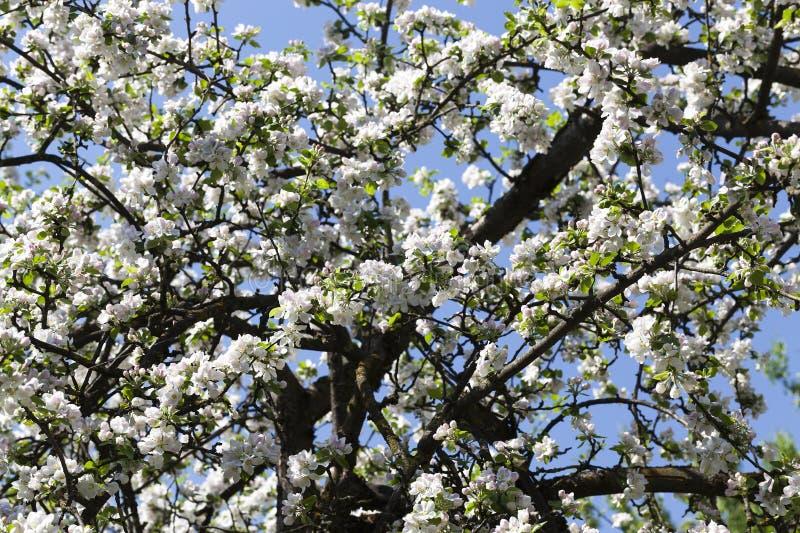 árvore do tronco e de maçã foto de stock