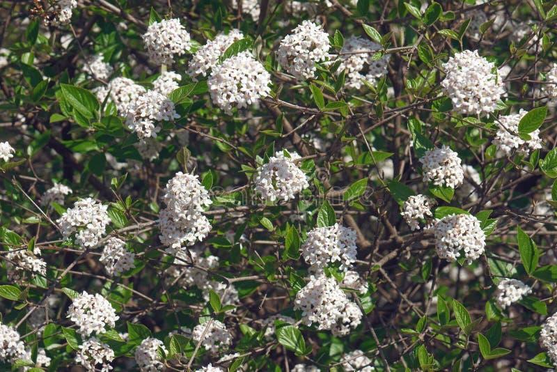 Árvore do viburnum do Mohawk na flor imagens de stock