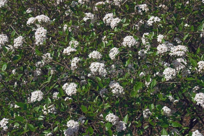 Árvore do viburnum do Mohawk na flor fotos de stock
