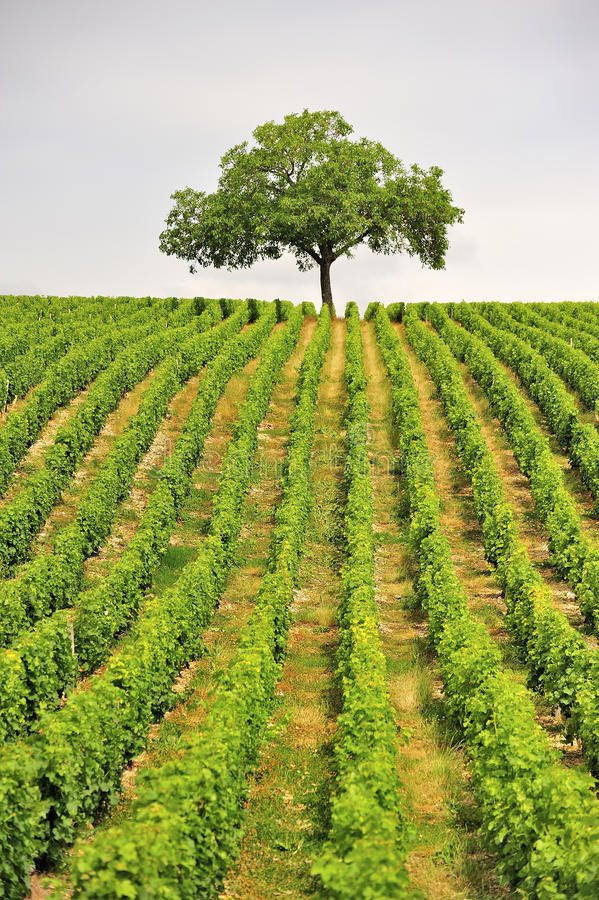 Árvore do vinhedo, Sancerre, France imagens de stock