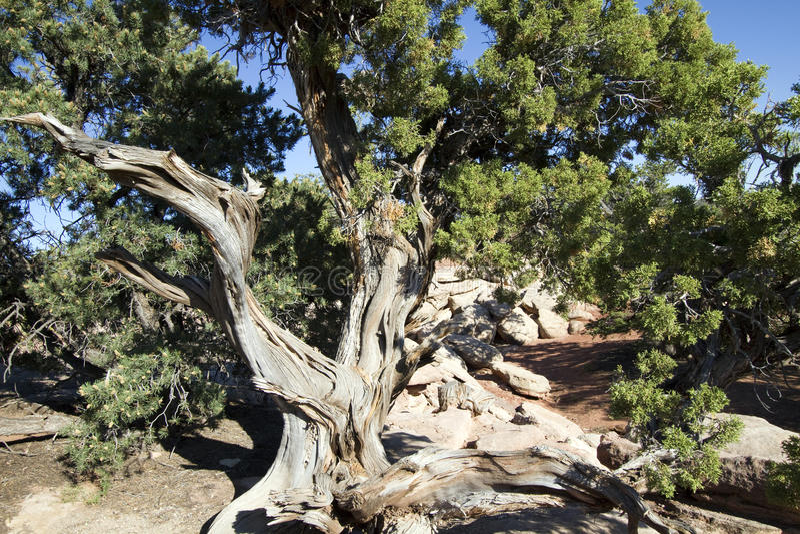 Árvore do zimbro de Utá, osteosperma do juniperus imagens de stock royalty free