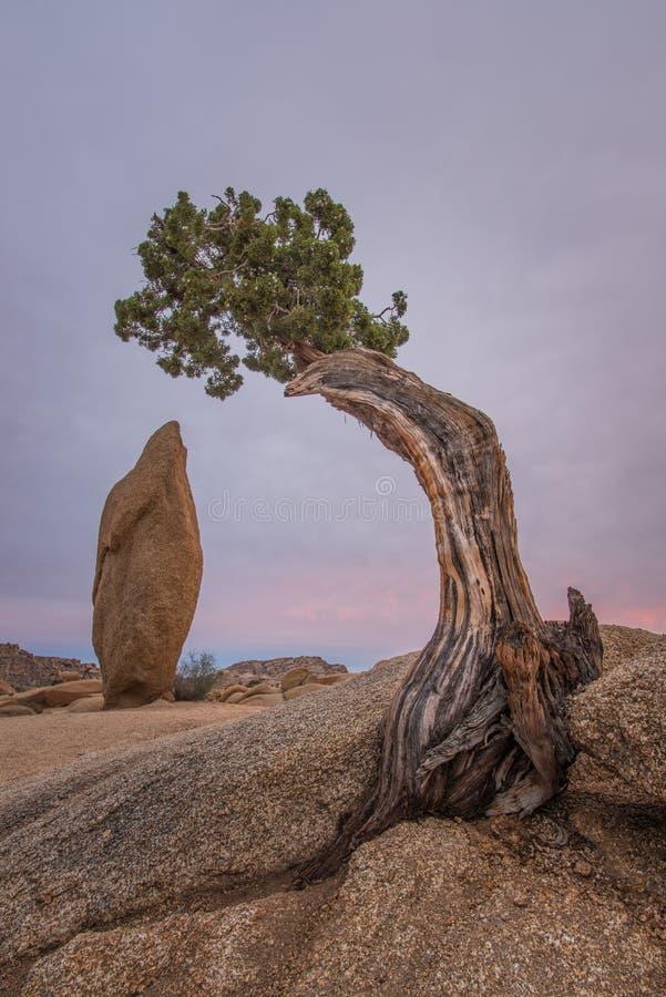 A árvore do zimbro no jumbo balança o acampamento, Joshua Tree National Park fotos de stock royalty free