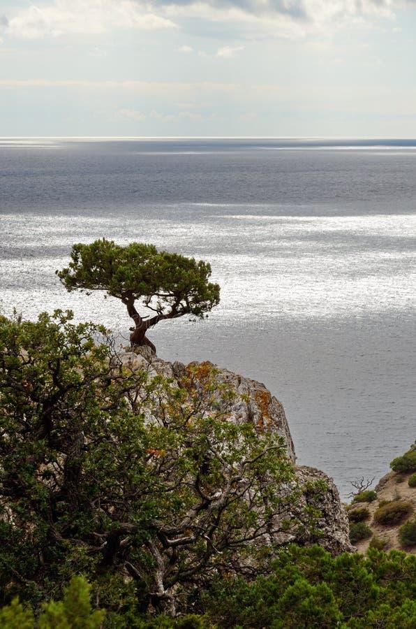 A árvore do zimbro sobre um penhasco contra o mar imagens de stock