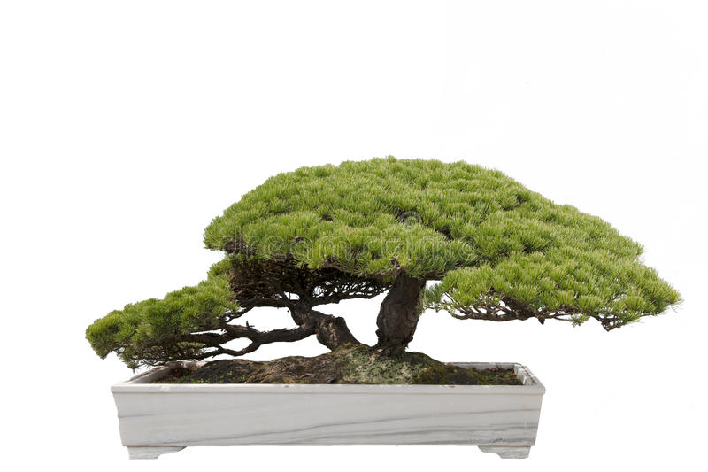 Árvore dos bonsais fotografia de stock royalty free