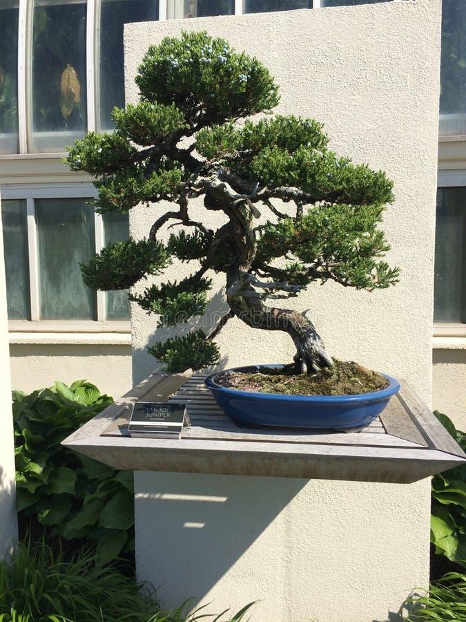 Árvore dos bonsais imagem de stock royalty free