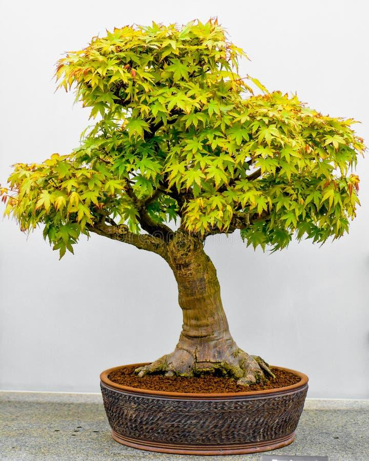 Árvore dos bonsais do bordo japonês no plantador imagem de stock