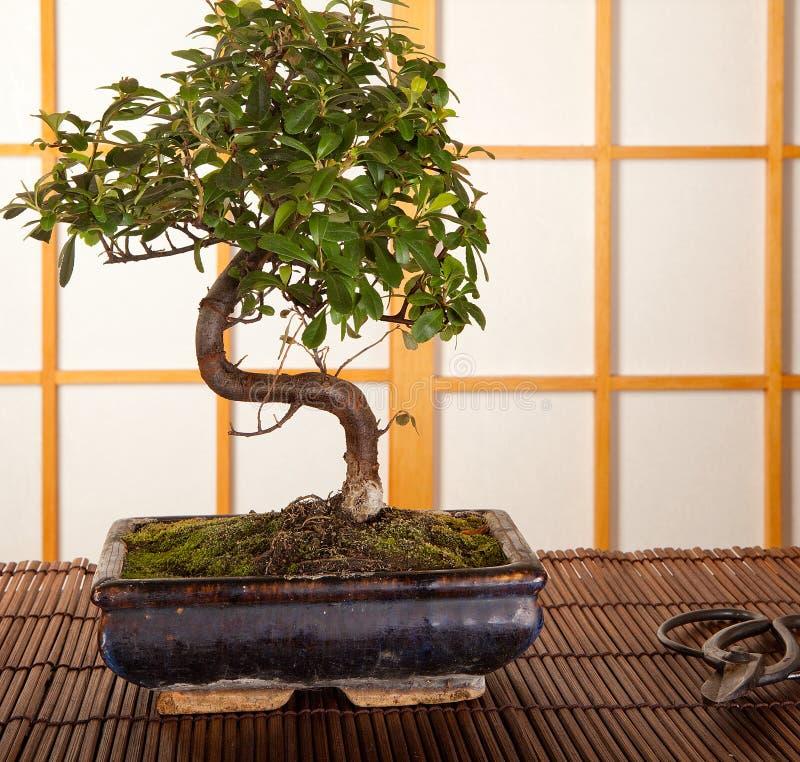 Árvore dos bonsais e tesouras de poda fotos de stock royalty free
