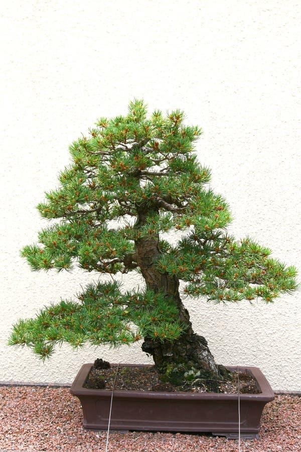 Árvore dos bonsais em Jardin Botanique imagens de stock