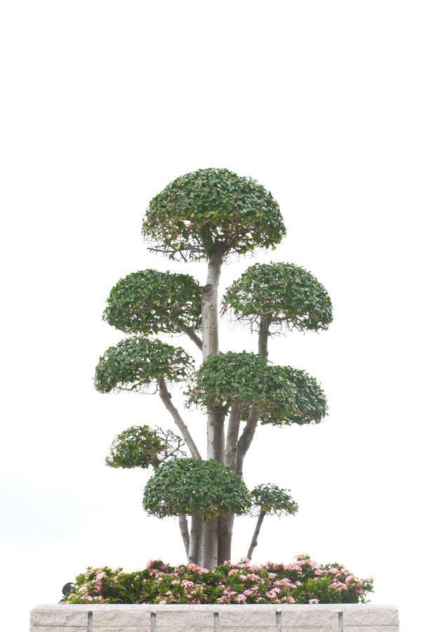 Árvore dos bonsais isolada no branco fotografia de stock