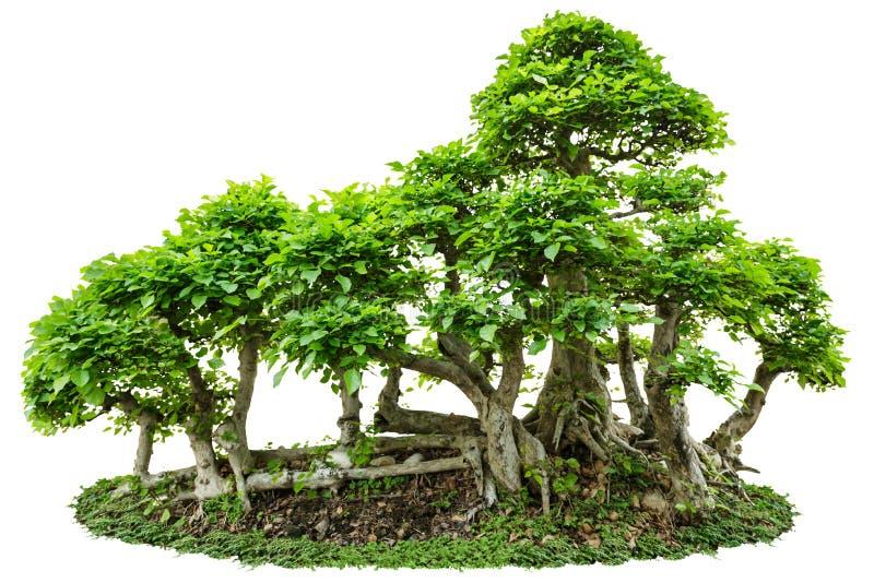 Árvore dos bonsais isolada no branco foto de stock