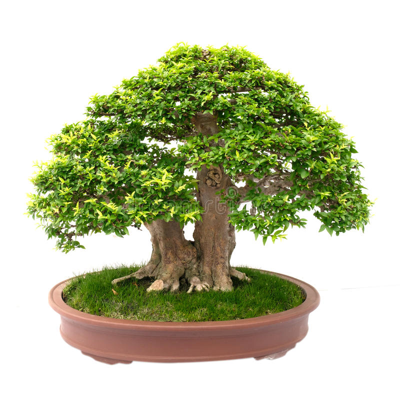 Árvore dos bonsais isolada no branco imagem de stock royalty free