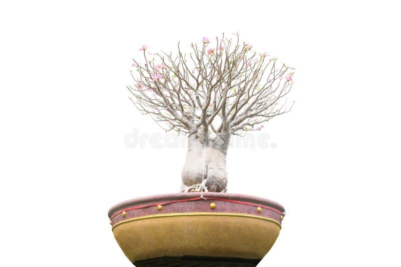 Árvore dos bonsais no jardim isolado no branco, trajeto de grampeamento foto de stock